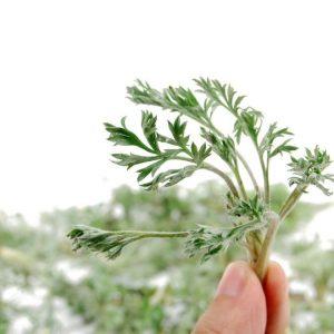 Artemisia herba - alba