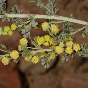 Artemisia judaica