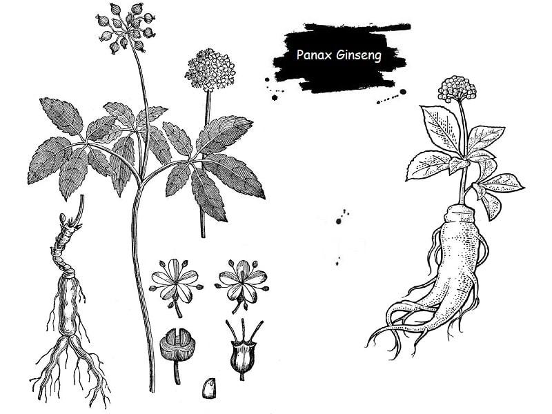 گیاه Panax Ginseng از تیره عشقه