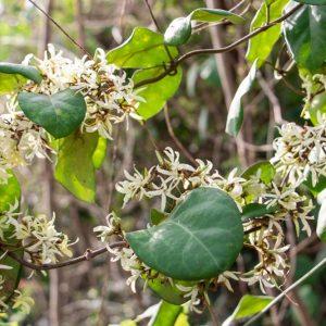 Ichnocarpus frutescens