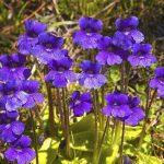 تیره Lentibulariaceae